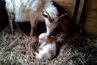 Et lite kje er født. Foto: Knut C. Milde.