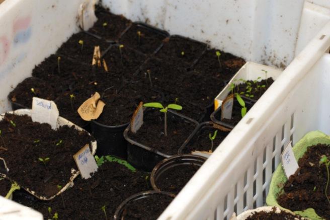 Våren starter innendørs. Her spirer tomater, grønnkål, sellerirot med mer. Foto: Lise von Krogh.