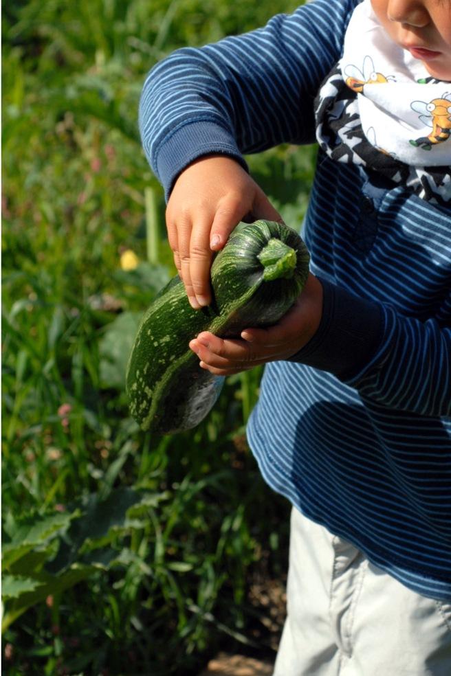 Jr. blir med på høsting av squash. Foto: Lise von Krogh.