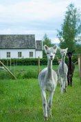 Alpakkaene kommer. Foto: Lise von Krogh.