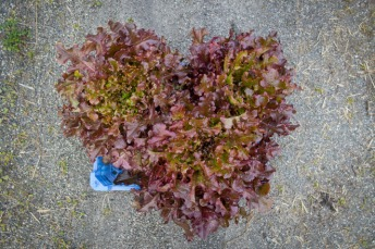 Rød ekbladsalat. © Foto: Lise von Krogh.