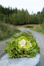 Battavia salat. © Foto. Lise von Krogh.