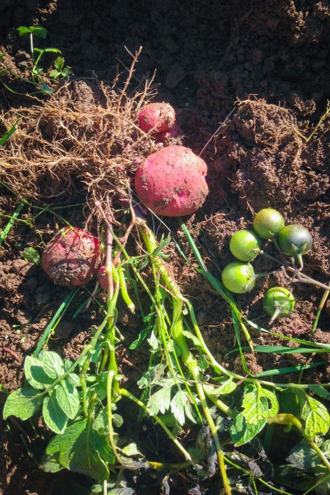 Foula Red potet med giftig potetfrukt. Foto: Lise von Krogh.