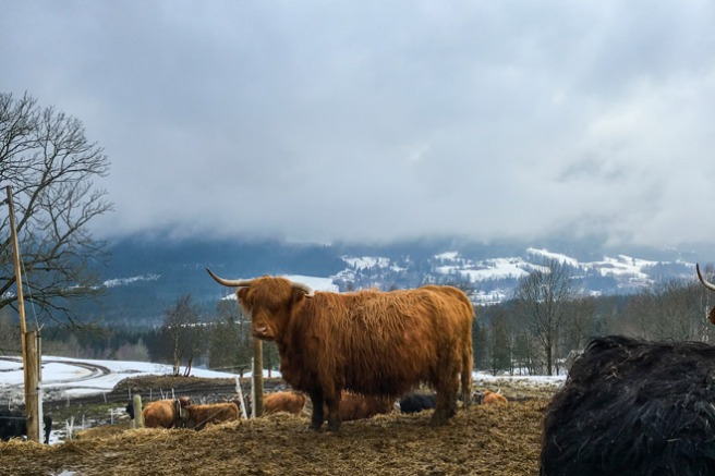 Skotsk høylandsfe. Foto: Lise von Krogh ©