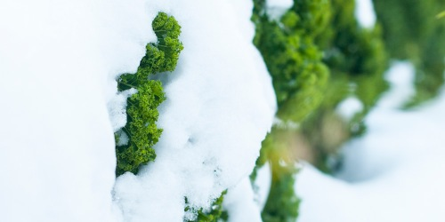 Grønnkål. Foto: Lise von Krogh ©