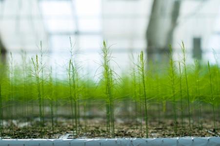 """""""Nyfødte"""" aspargesplanter. Foto: Lise von Krogh ©"""