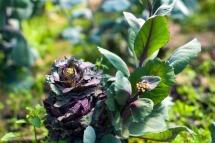 Rødkål i blomst. Foto: Lise von Krogh ©
