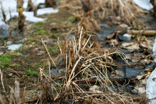 Vissent løv og tynne plantestengler kan freses opp og gi næring til livet i jorden. Foto: Lise von Krogh ©