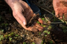 En fuktig jord er lettere å klemme sammen enn en tørrere jord. Foto: Lise von Krogh ©